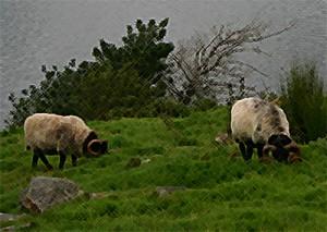Vinländische Dickhörner